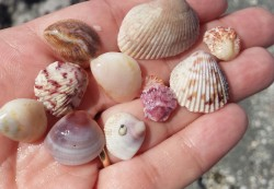 A small sample of my shell haul from Turner Beach, Captiva Island